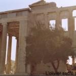 L'Acropole à Athènes (Olivier sacré)